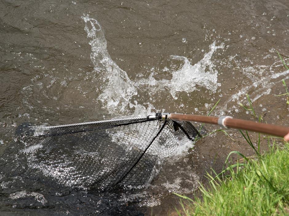 Fisch-vor-dem-Keschern