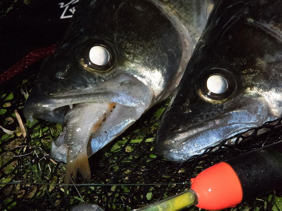 Zanderangeln-mit-Köderfisch