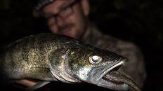 Zanderangeln-mit-Koederfisch